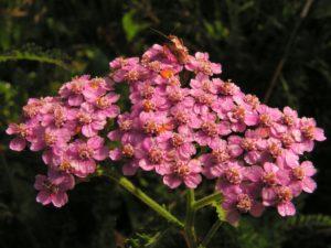 Multicolored Yarrow