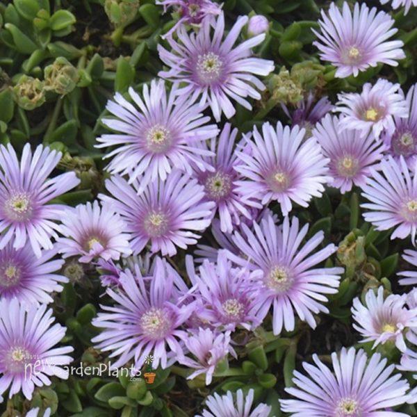 Lavender Ice Plant
