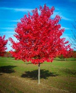 Norwigian Sunset Maple