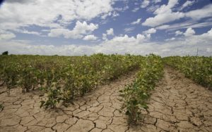 Crops dyeing from drought
