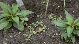 Weeds in flower bed
